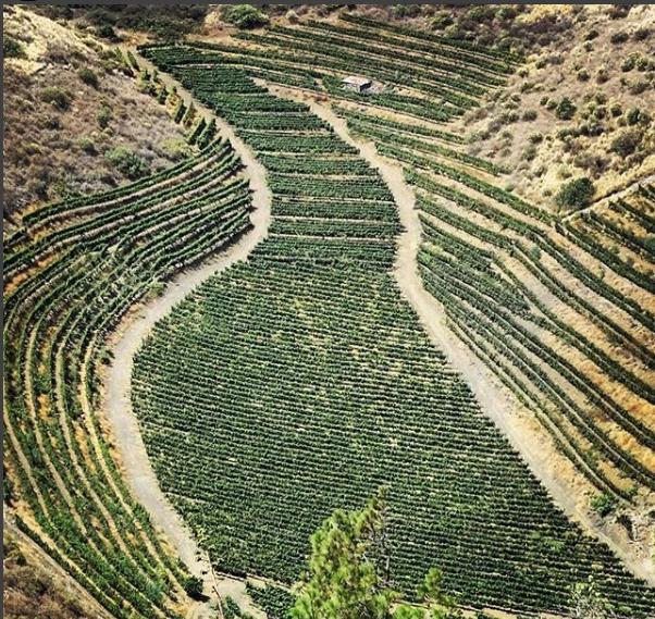 Viñedos en Gran Canaria