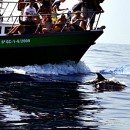 Holidays in Gran Canaria, marine excursions and dolphin watching