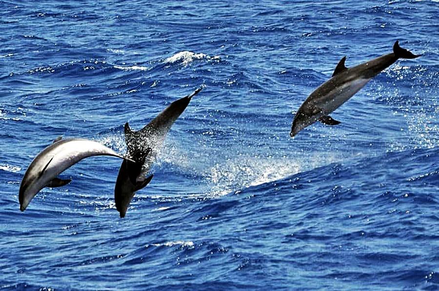 Dolphin watching Gran Canaria
