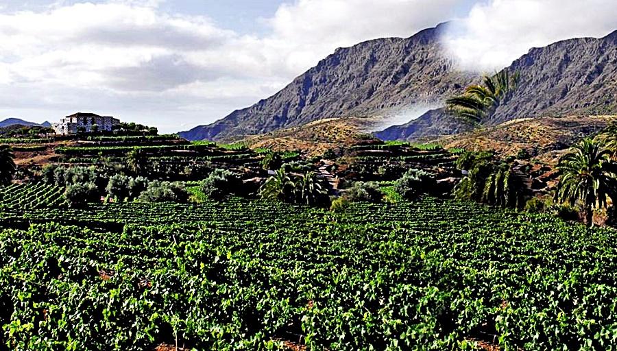 wineyards Gran Canaria