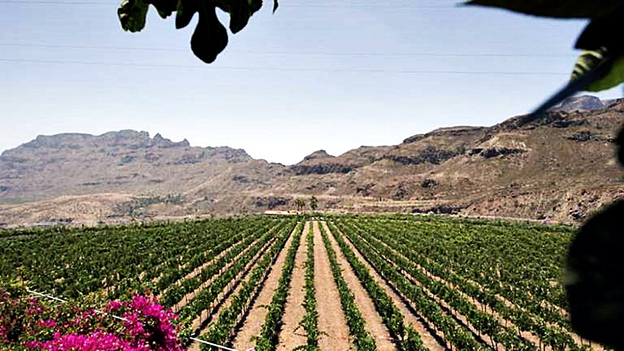 wineyards of Gran Canaria