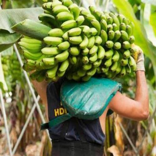 Rutas en las Islas Canarias para grupos, protagonista, el Plátano